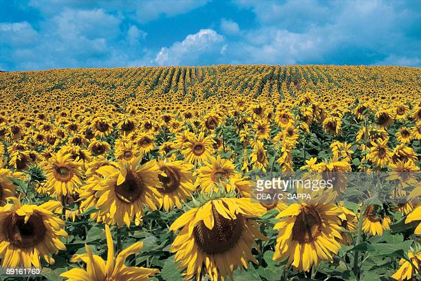 Sunflowers in a field Domme Aquitaine France