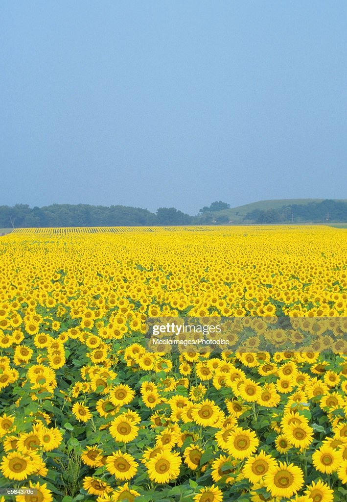 Sunflowers in a field, Kansas, USA : Stock Photo