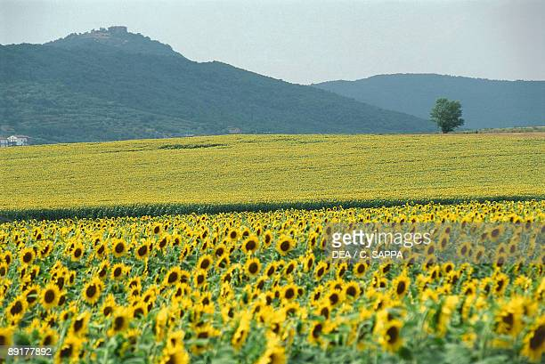 Sunflowers in a field Perugia Umbria Italy