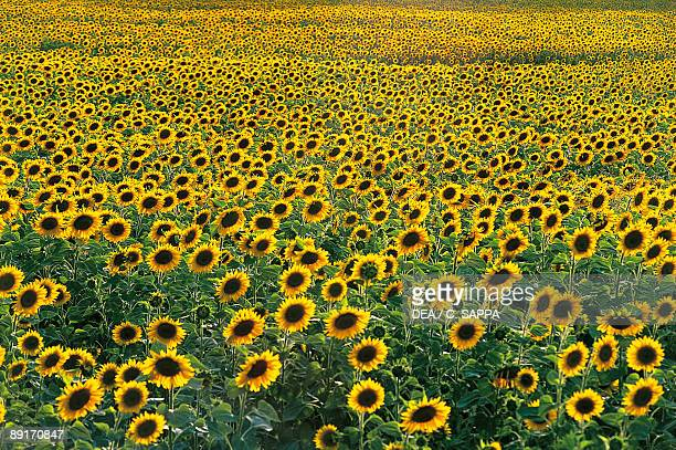 Sunflowers in a field Umbria Italy