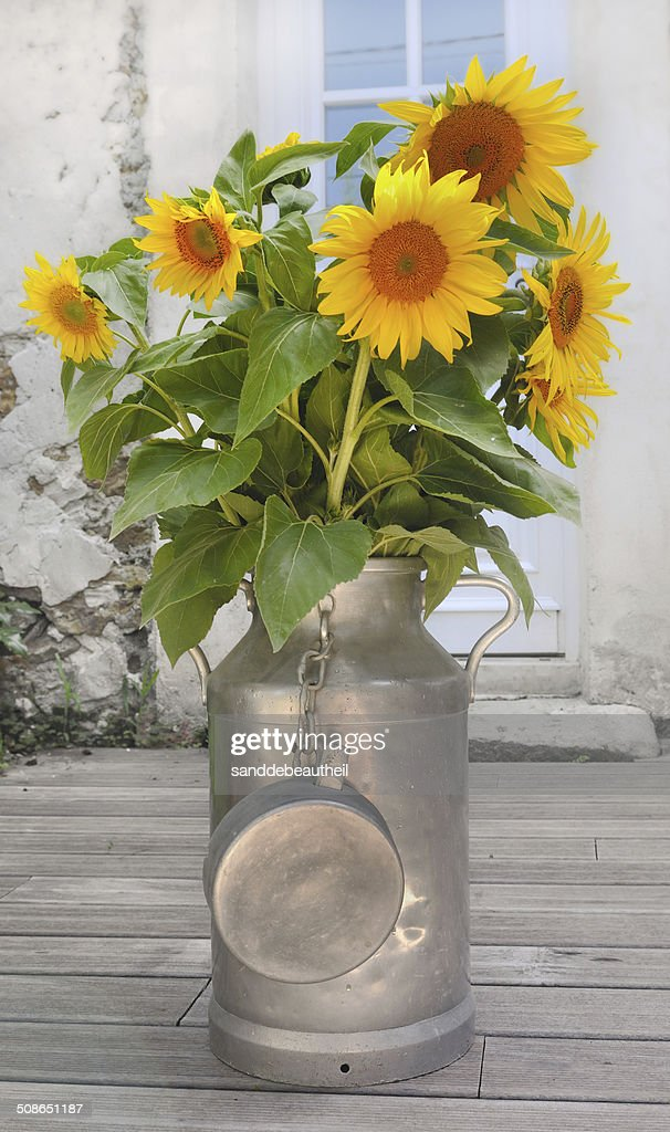 sunflowers in a milk can : Stock Photo