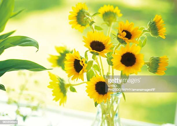 Sunflowers Vase Stock Photos And Pictures Getty Images