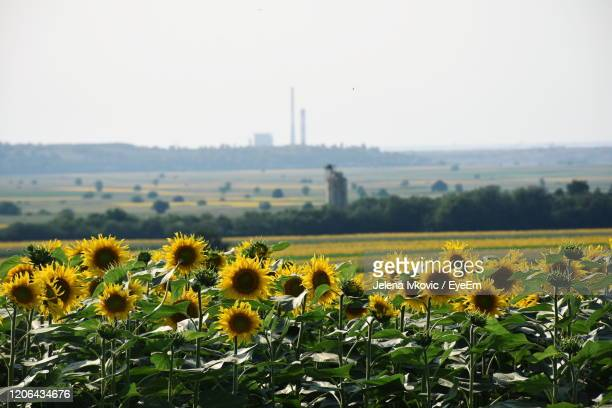 sunflowers in field against clear sky - jelena ivkovic stock pictures, royalty-free photos & images