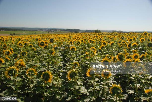 sunflowers in field against clear sky - gerhard schimpf stock pictures, royalty-free photos & images