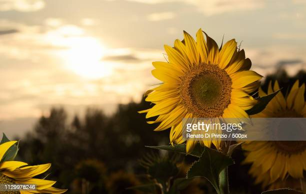 Sunflowers In Fields Planted With Sun Backlight