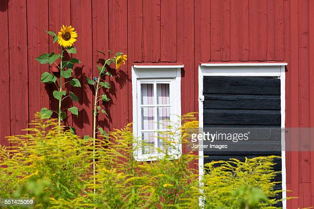 Sunflowers in front of wooden house