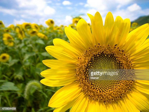 sunflowers in full bloom