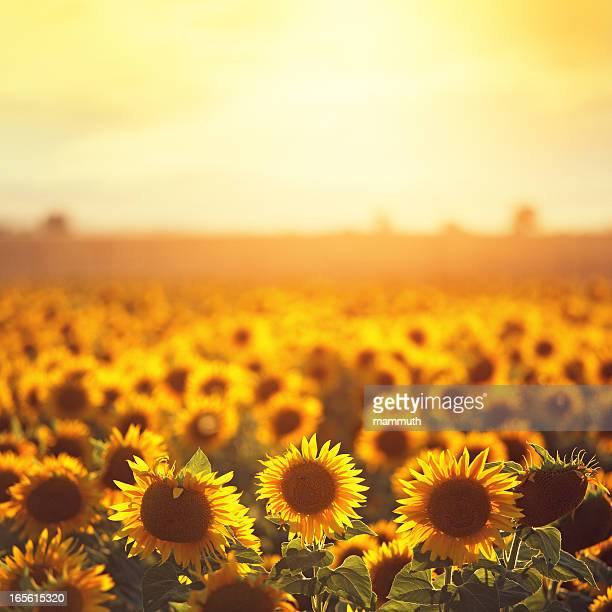 sunflowers in provence - july stock pictures, royalty-free photos & images