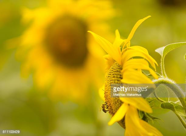 sunflowers in the field with a bee - makarinus stock photos and pictures