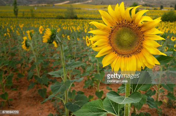 sunflowers in the fields of soria, castilla leon, spain - frescura stock pictures, royalty-free photos & images