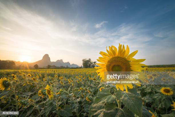 sunflowers irrigation field in the sunset scene - sprinkler system stock pictures, royalty-free photos & images