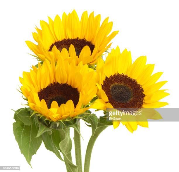 Sonnenblumen, isoliert, isoliert auf weißem Hintergrund