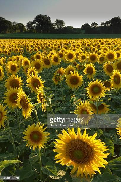 Sunflowers, near Chalabre, Aude, France, Europe