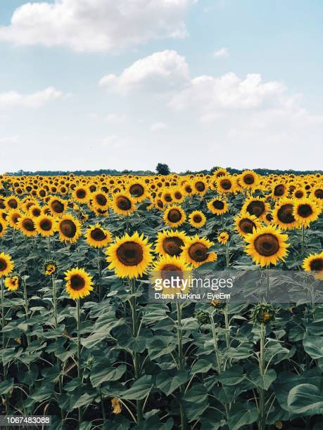 sunflowers on field against cloudy sky - rostov on don stock pictures, royalty-free photos & images