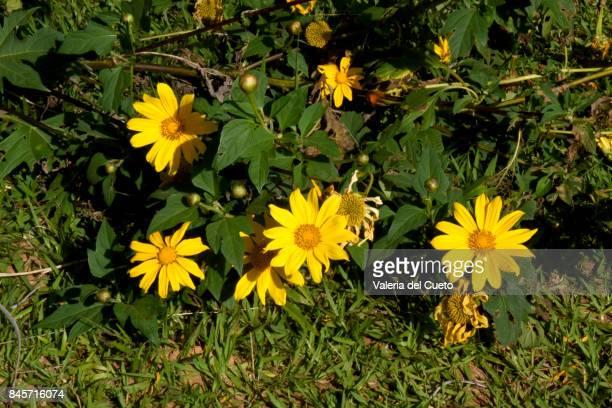 Sunflowers on the sidewalk