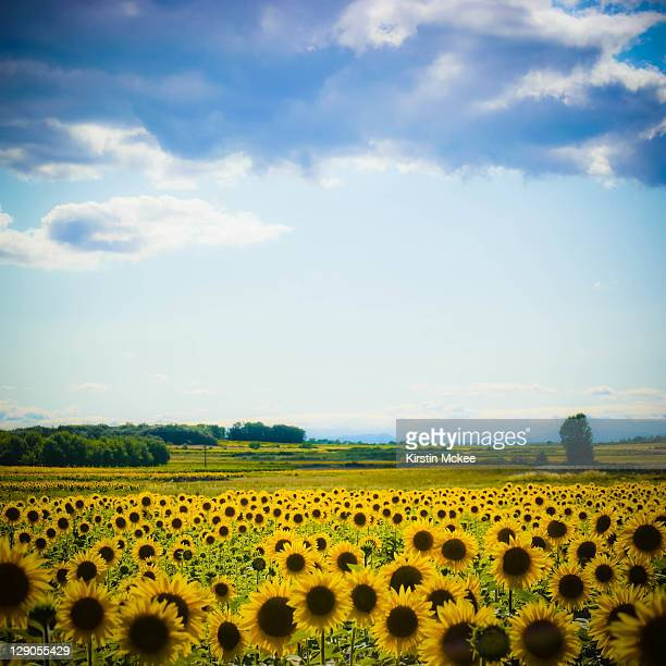 sunflowers - gard stock photos and pictures