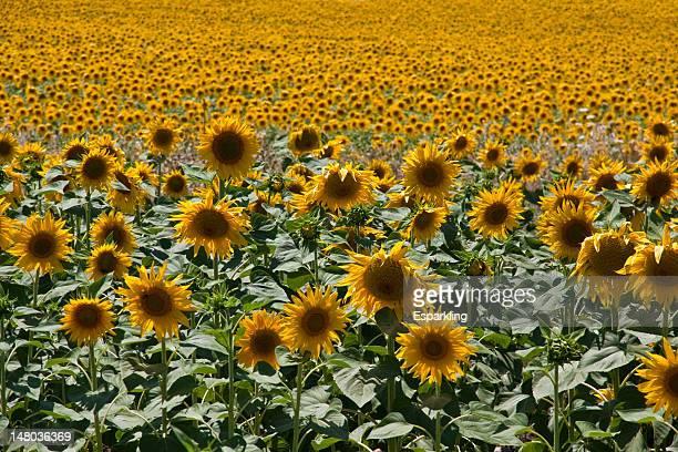 sunflowers - エシハ ストックフォトと画像