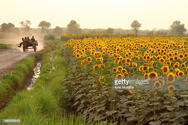 sunflowers - punjab pakistan stock photos and pictures