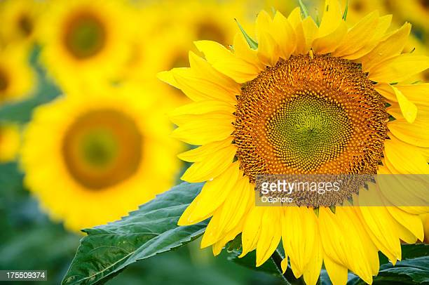 sunflowers - ogphoto stock pictures, royalty-free photos & images