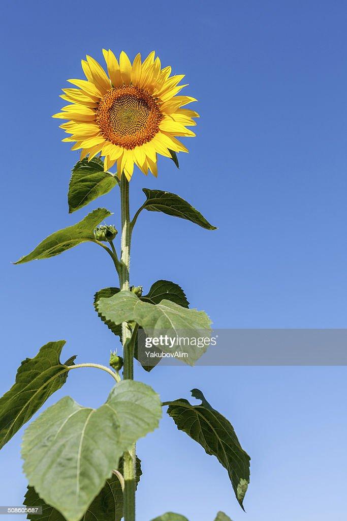 Sunflowers : Foto de stock