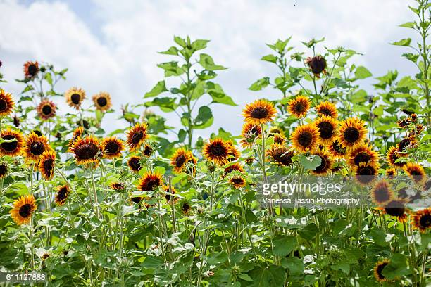 sunflowers - vanessa lassin stock pictures, royalty-free photos & images