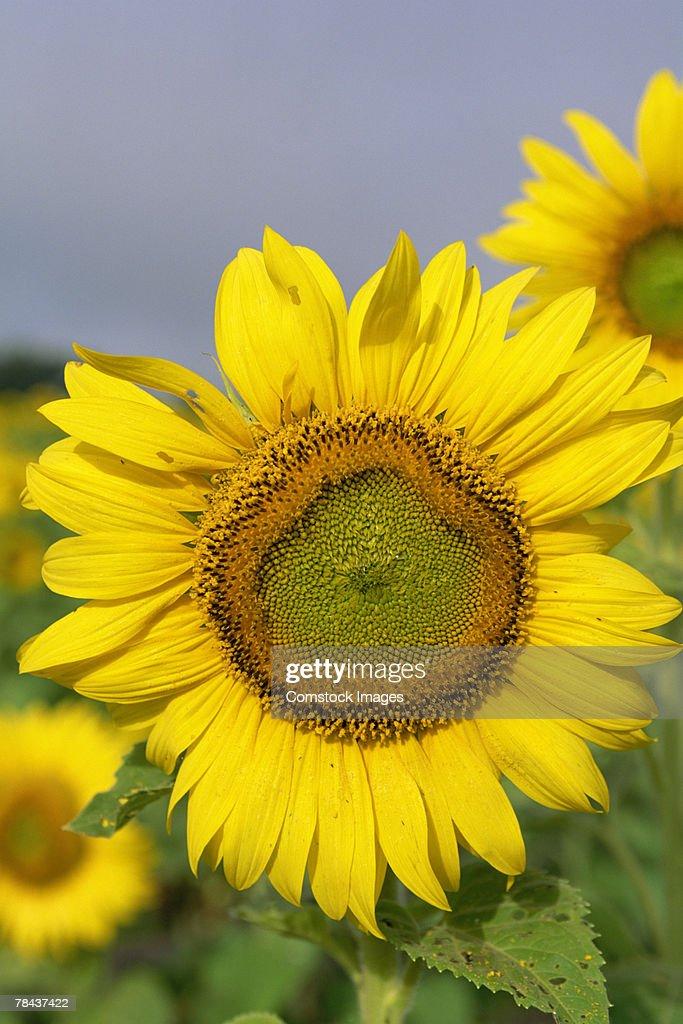 Sunflowers : Stockfoto