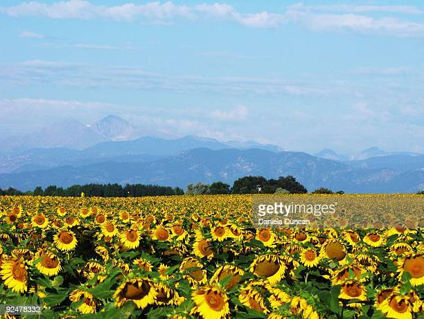 sunflowers - greeley colorado stock photos and pictures