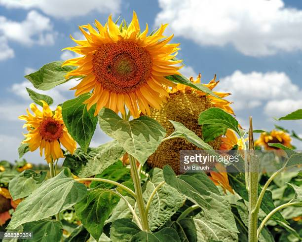 sunflowers - barulho stock pictures, royalty-free photos & images