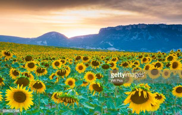 Sunflowers plantation Arteaga village Tierra Estella county Navarre Spain Europe