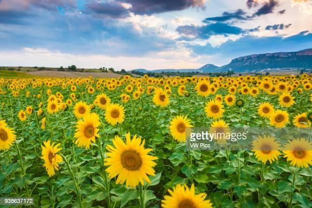 Sunflowers plantation Tierra Estella county Navarre Spain Europe