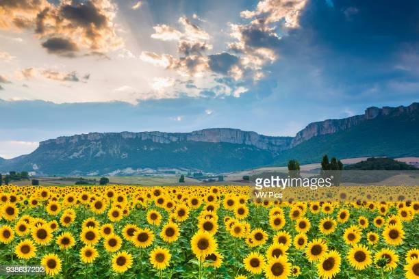 Sunflowers plantation Tierra Estella county Navarre Spain Europe