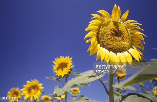 Sunflowers Siennese country Tuscany Italy