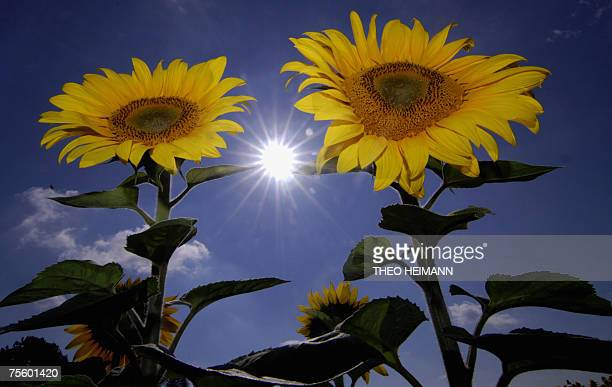 Sunflowers stand on a field near Kuestrin in the Brandenburg region eastern Germany 23 July 2007 Sunflowers are native to the Americas and can grow...