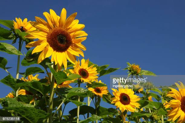 Sunflowers (Helianthus annuus), sunflower field, Schleswig-Holstein, Germany