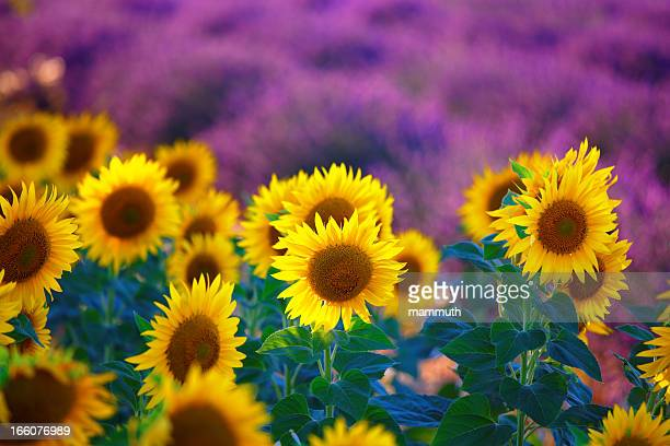 sunflowers with lavender fields in provence - provence alpes cote d'azur stock pictures, royalty-free photos & images