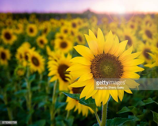 Sunflowers with sun flare