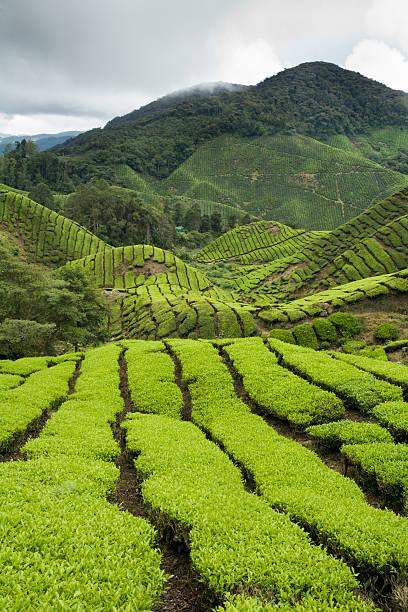 Sungai Palas Tea Estate on slopes of Gunung Brinchang in the Cameron Highlands.