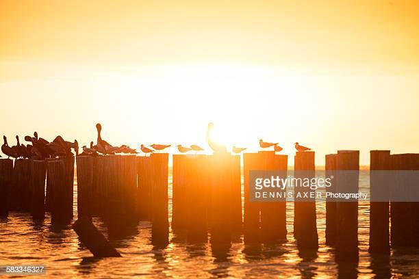 Sunglare sunset behind a pelican