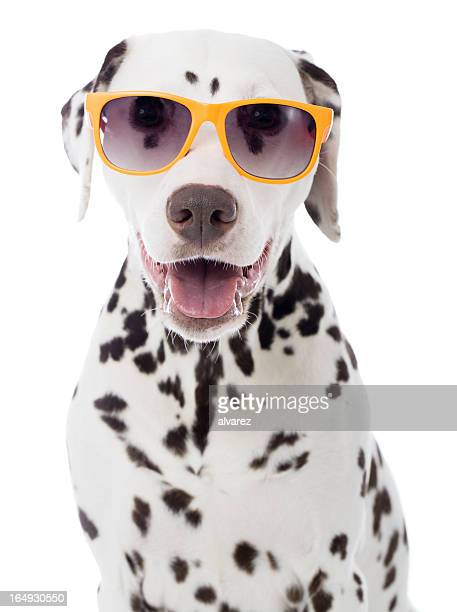 Sunglasses on o a Dalmatian