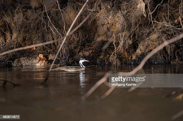 Sungrebe or American finfoot at a tributary of the Cuiaba River near Porto Jofre in the northern Pantanal, Mato Grosso province in Brazil.