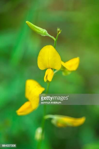 Sunhemp flower