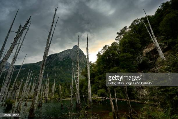 sunked larchs forest of lagoon alerces under dramatic sky. - espiritualidad stock pictures, royalty-free photos & images