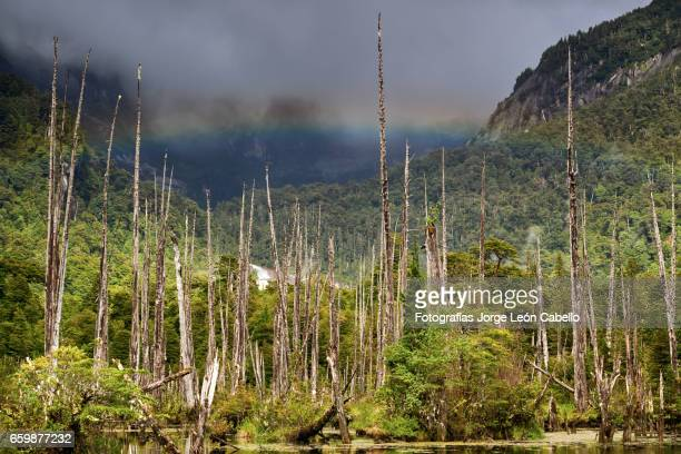 Sunked Larchs forest of lagoon Alerces under morning sunlight with rainbow