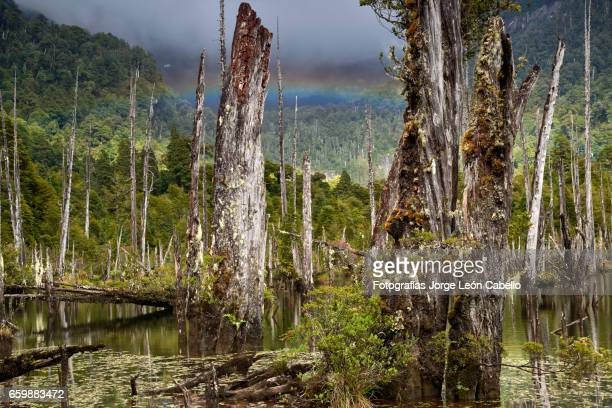 Sunked Larchs forest of lagoon Alerces with rainbow in the morning
