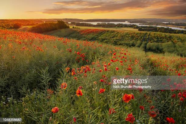 sunkissed - oriental poppy stock pictures, royalty-free photos & images