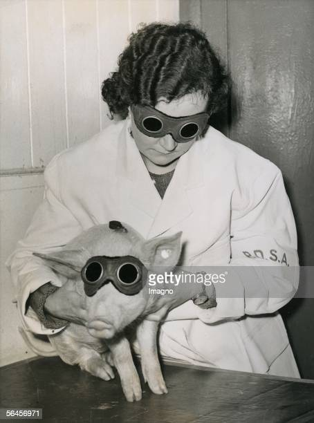 Sunlamp therapy for a pig provided with protective goggles in an animal ambulance in Ilford, London. Photography. About 1935. [Hoehensonne fuer ein...