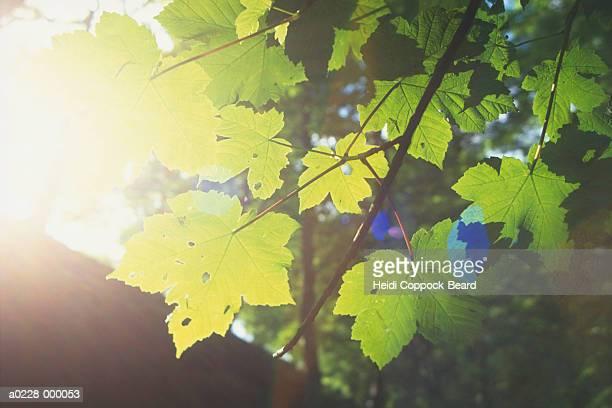 sunlight and leaves - heidi coppock beard stock-fotos und bilder