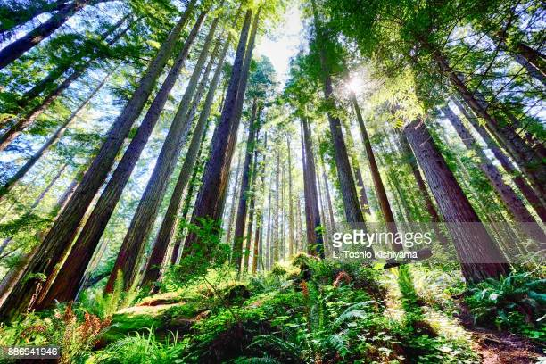 sunlight at redwood state park, california - redwood tree stock photos and pictures