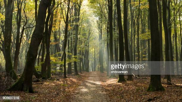 Sunlight beaming through forest, Speulderbos, Gelderland, Ermelo, Holland