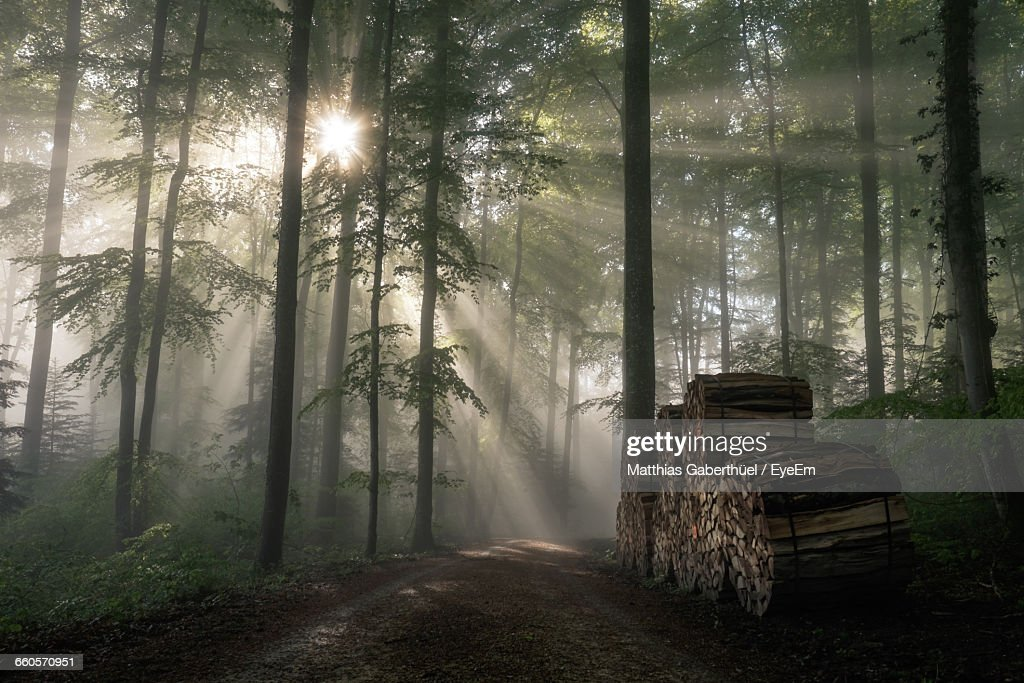 Sunlight Beaming Through Forest Trees : Stock-Foto